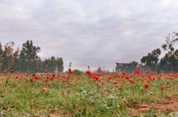Путешествие по пустыням Израиля: анемоны в Северном Негеве