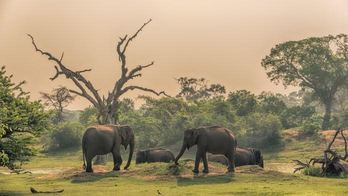 Elephants at Yala National Park