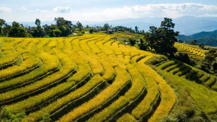 Thailand North rice terrace