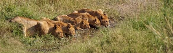 Serengeti Lions Drinking