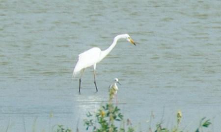 Der Greater Egret