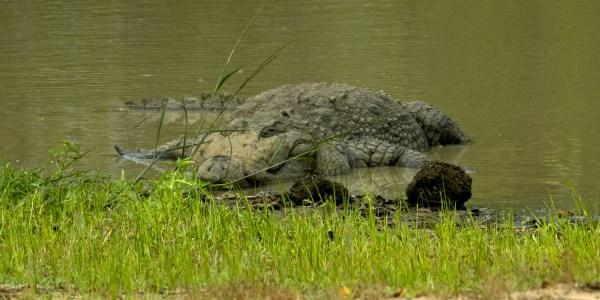 Ein besonders großes Exemplar der Sumpfkrokodile