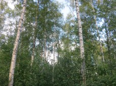 with lots of tall Nordic birch trees, my favorite