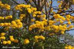 Opvallende gele bloemen van de Corteza Amarilla (Tabebuia ochracea) in bloei