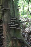 image of fungi mushrooms on growing trees, borrowed from mongabay.com