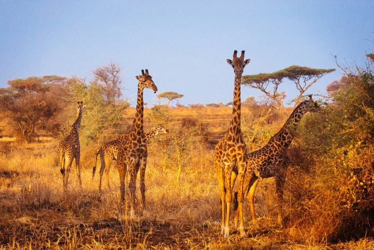 When safari was over we discovered a huge herd of giraffes at the gate of Serengeti.
