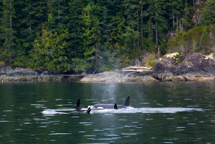 It was amazing to be back on my old stomping ground. Many years ago, I spent a couple of summers living on Quadra Island working as a sea kayak guide, so I was definitely excited to return. A pod of around 50 resident orcas cruised past our boat and their singing was incredible; I had to capture this moment. Though it was challenging, I managed to mount my GoPro onto a pole to capture them swimming past underwater. As all photographers and filmmakers know, you need to try everything possible for that perfect shot. - Bare Kiwi