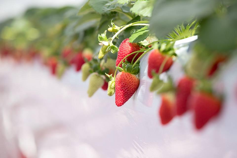 【潮日放送】30分鐘摘草莓放題 東京士多啤梨園新開張 | U Travel 旅遊資訊網站