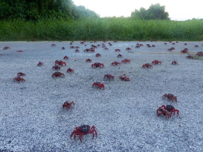 red crabs begin their annual migration across christmas island abc