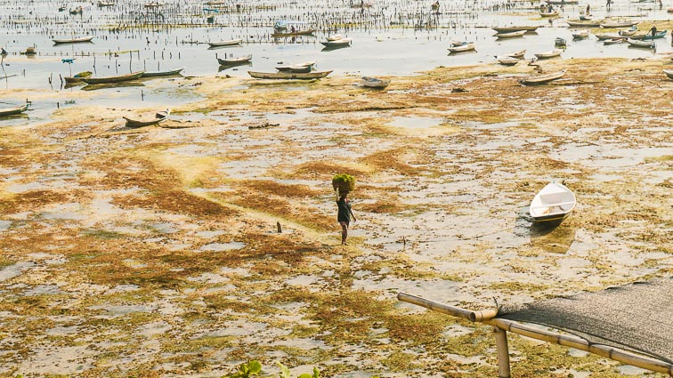 Nusa Lembongan and Nusa Ceningan. Seaweed farms