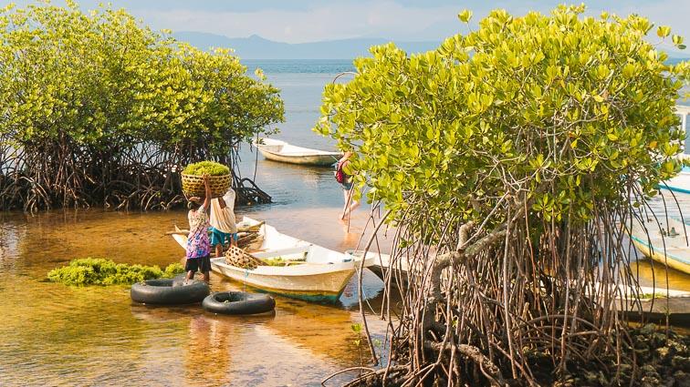 Nusa Lembongan and Nusa Ceningan. Mangroves on Nusa Lembongan