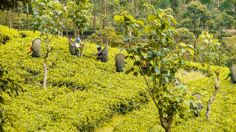 Things to do in Sri Lanka. Tea pickers