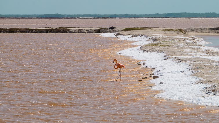 Flamingo in a Yellow lake, Las Coloradas, Mexico