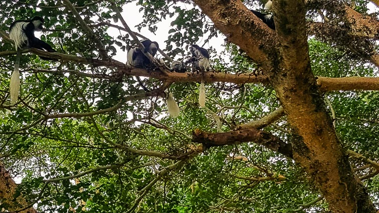 A lot of monkeys in a tree in Hawassa