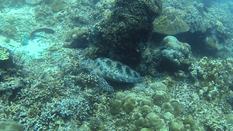 Turtle. Diving in sipadan