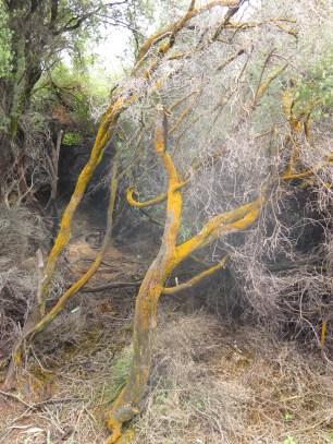 Orange trees?