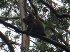 Second Koala