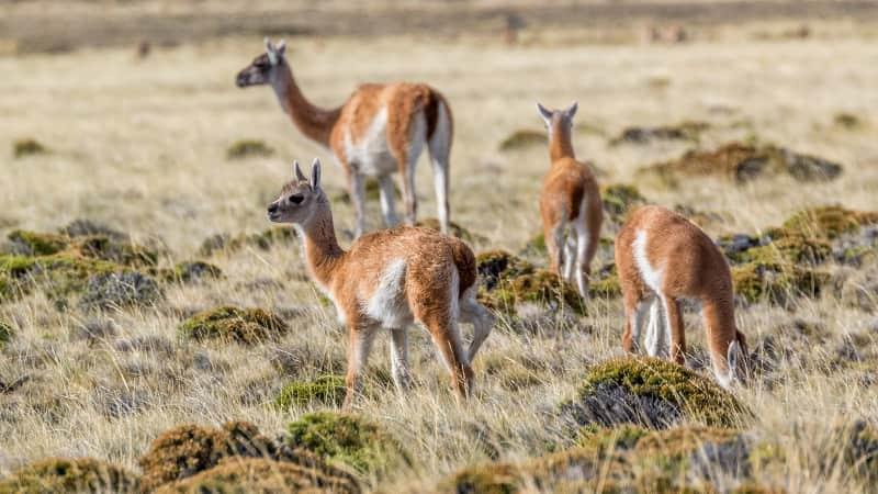 Argentina's remote Perito Moreno National Park is home to guanacos, the llama's wild cousin.
