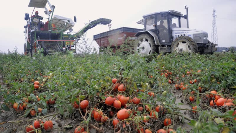 Mechanization saw Italy's tomato scene go global.