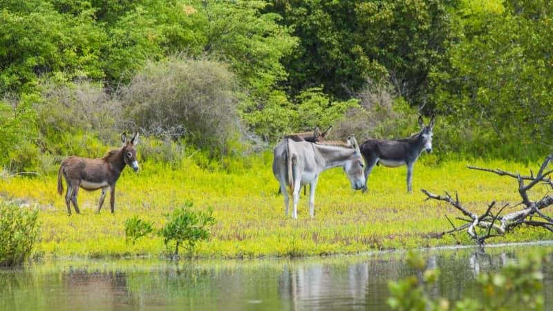 On South Caicos island, descendants of donkeys from the island's salt production days roam freely.