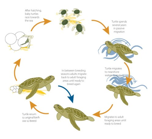 Reproduction of sea turtles and Growth
