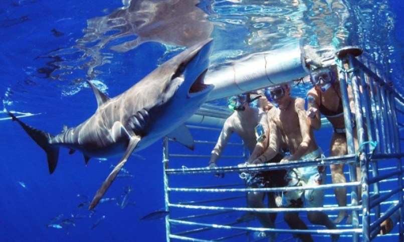 Cage Diving with Sharks in North Shore