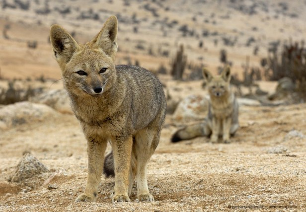 Animals in Atacama