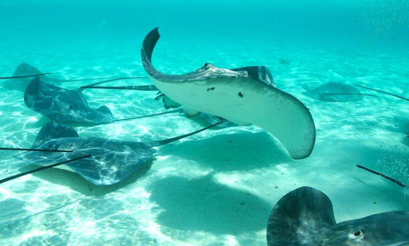 Sharks and Stingray snorkeling in Tahiti Island