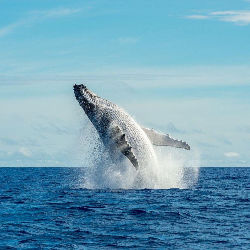 whale watching in Tahiti Island