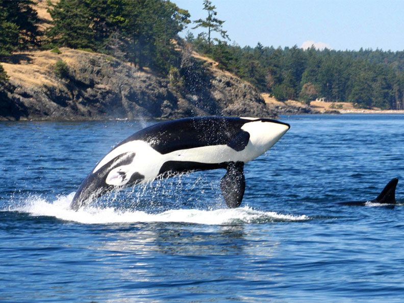 orcas watching in San Juan Island
