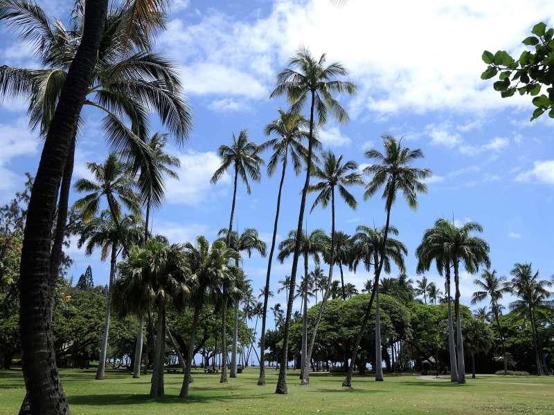 ハワイの公園のヤシの木々