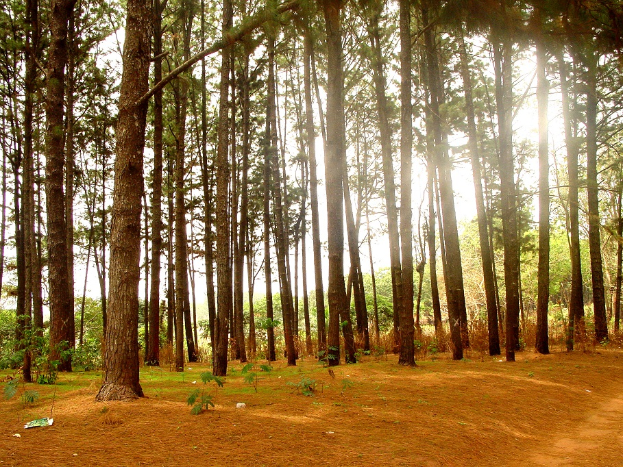 Image result for ngwo pine forest
