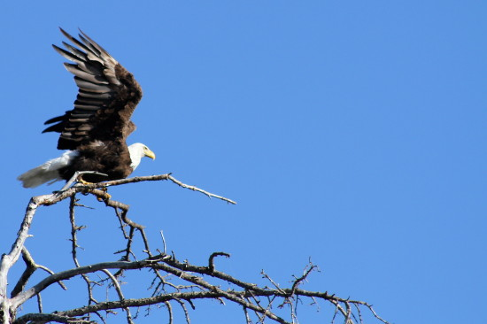 Bald Eagle Saskatchewan