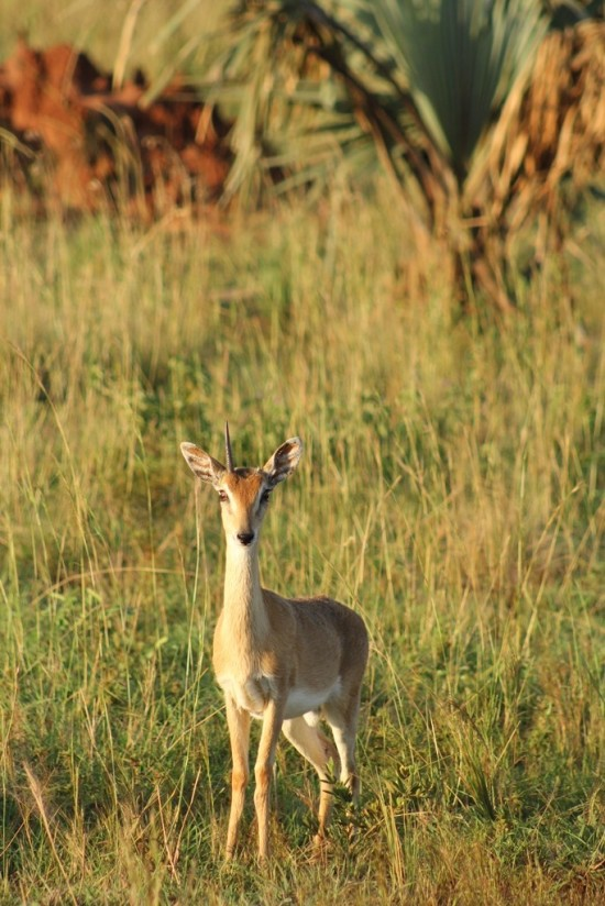 A darling oribi is missing one of it's horns.