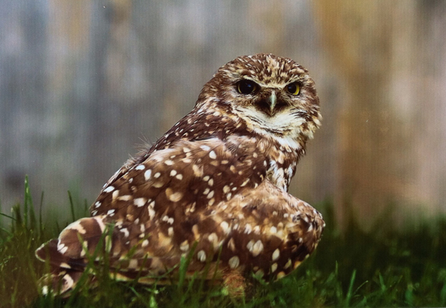 trooper the burrowing owl header