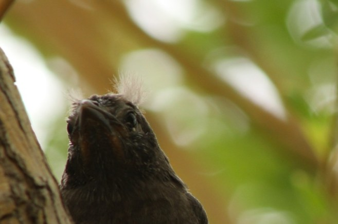 Baby Grackle 1