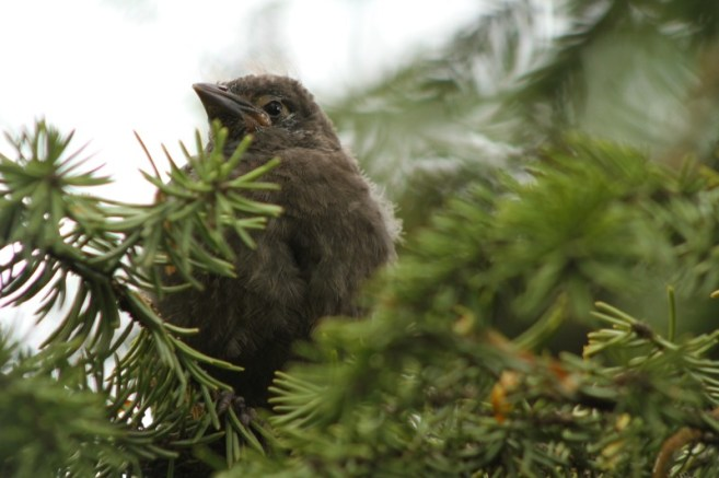 Baby Grackle 4
