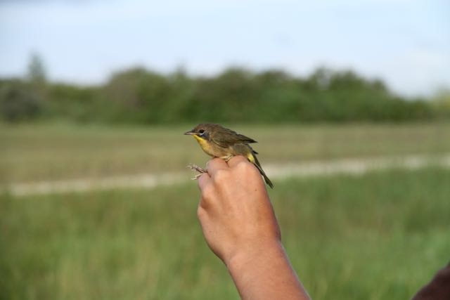 Common yellowthroat in a photographers grip Oak Hammock Marsh