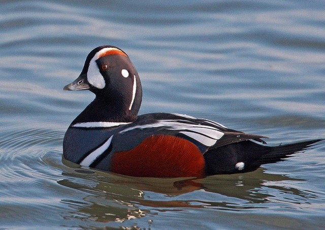 Will I see the elusive but magnificent Harlequin Duck or the rare Ross's Gull? Imaged borrowed courtesy of Copyright © 2014 PageResource.com.