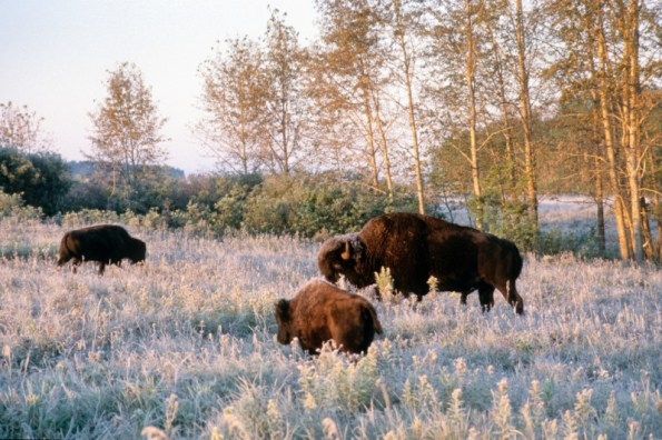 plains bison at riding mountain national park