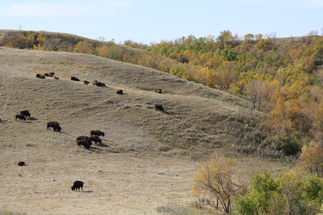 Bison in Buffalo Pound Provincial Park