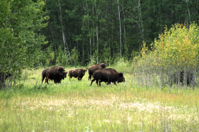 Free roaming bison Sturgeon River Ranch