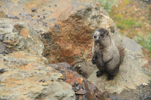 Marmot, Whistler, B.C. Jenn Smith Nelson