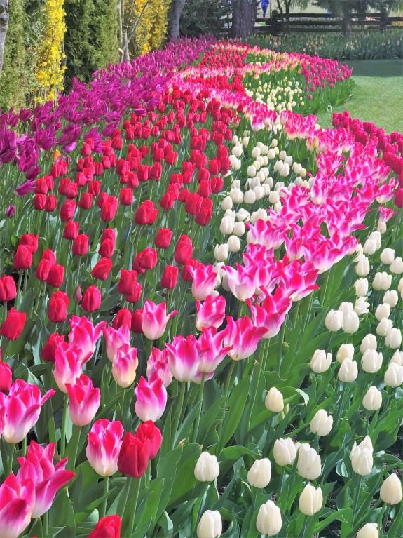 Hybrid Tulips at Skagit Valley Fields.  Seattle attractions. Skagit valley Tulip Festival.