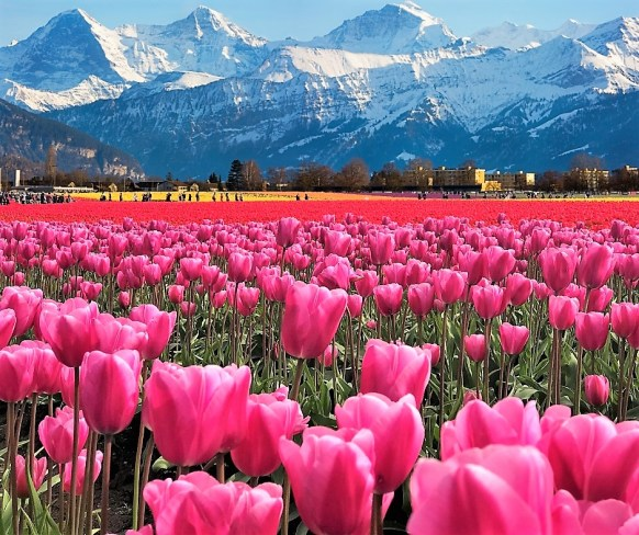Pink Tulips with Snowy Mountains. In lap of mother Nature. skagit county tulip festival 2019, skagit county tulip festival bloom map,What to expect in Tulip Festival?