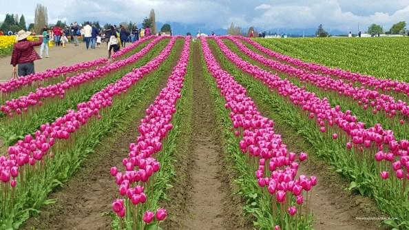 Pink Tulip rows in Skagit Valley Fields