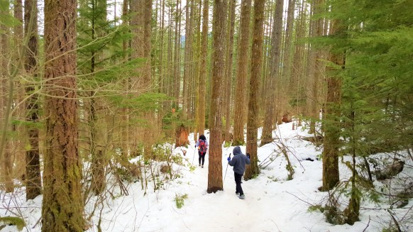 View of dense forest in snow at Rattlesnake Ledge trail. Snow Hiking to Rattlesnake Ledge