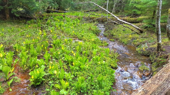 Skunk Cabbage in Marsh fields at Trail of shadows loop trail at Mount Rainier National Park. Easy Hikes and Road side attractions at Mount Rainier.