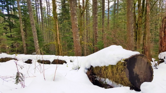 View of Log covered with snow on Rattlesnake Ledge trail. Snow Hiking to Rattlesnake Ledge