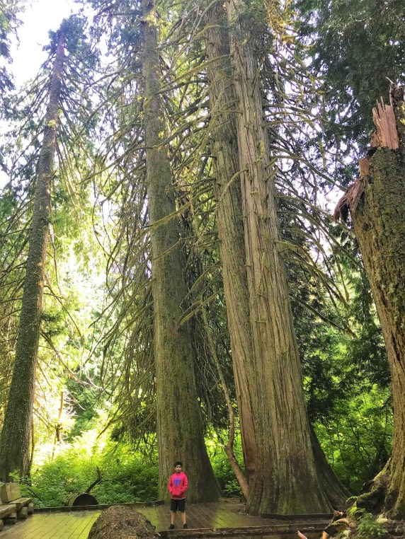 Ancient Red Cedar, Douglas fir trees on Grove of Patriarch trails  at Mount Rainier National Park